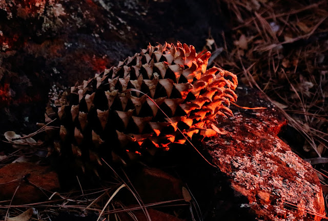 Coulter Pine Cone