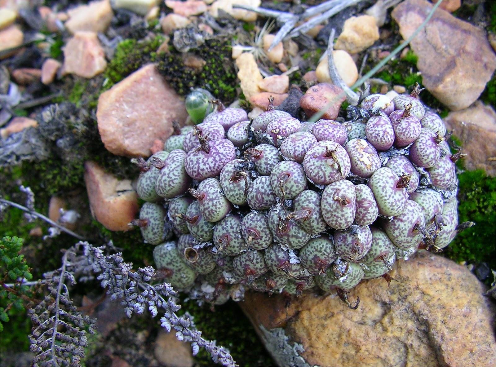 Conophytum truncatum ssp. truncatum var. wiggettiae