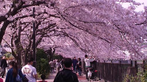 Hanami - O festival para apreciar cerejeiras! | Curiosidades