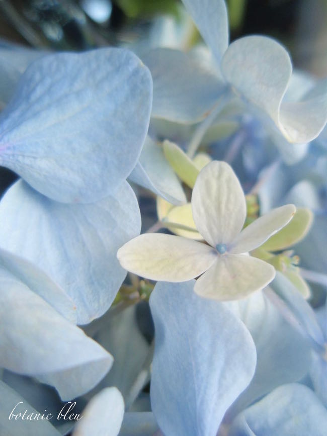 my-favorite-color-of-hydrangeas-is-pale-blue