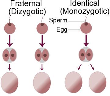 hyperovulation gene