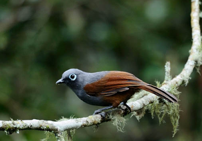 Burung Poksay Medan Gacor