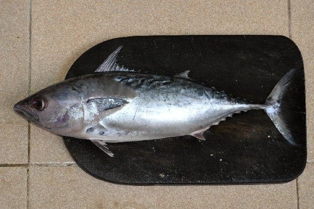 Jenis Ikan Tuna