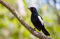 Burung Kacer Jawa Jadi