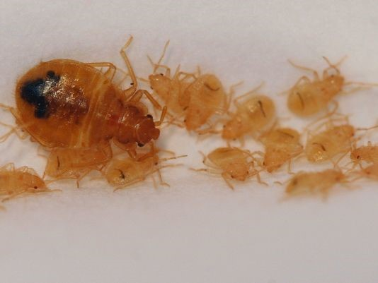 Can Heat Kill Bed Bugs