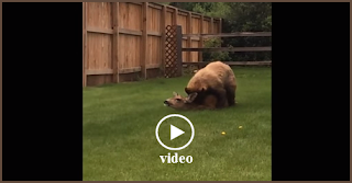 Bear attacks and kills deer in residential neighborhood