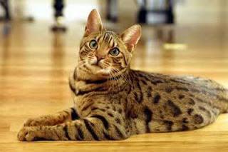gambar kucing Ocicat