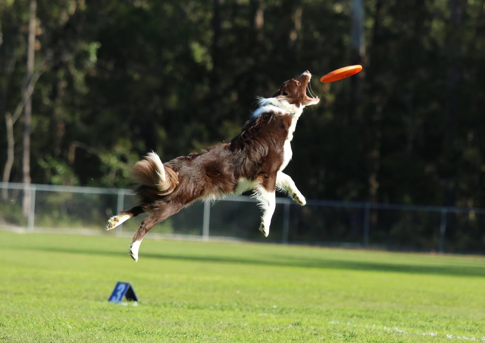 Runkle The Border Collie Leaping To Retrieve A Disc