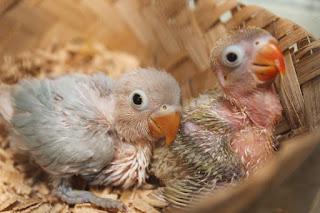 Penyebab dan Mengatasi Lovebird Baby Galak Jarang Ngekek