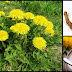 Health Benefits And Uses Of Dandelion Herb