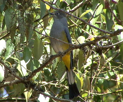 Grey Silky flycatcher