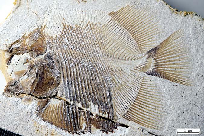 Penelitian A Piranha-like Pycnodontiform Fish from the Late Jurassic