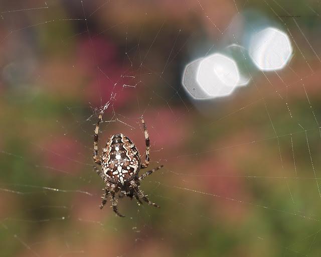 Ein Kreuzspinne in ihrem Netz