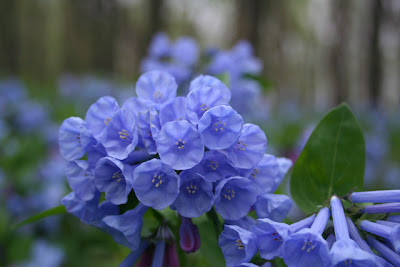 Virginia Bluebells Blue Flowers perennial