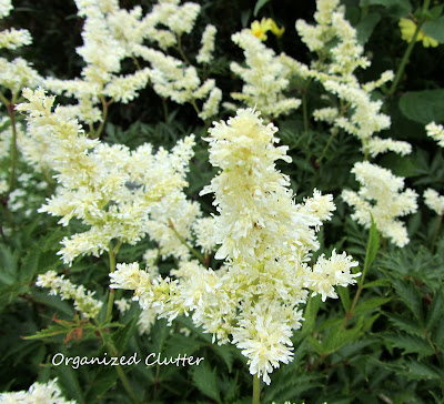 Cottage Garden - White Astilbe