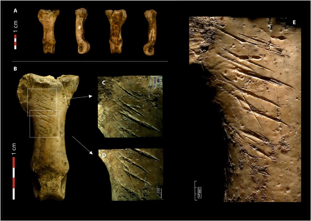 Falange de águila imperial ibérica procesada por neandertales en Cova Forada (Calafell, Tarragona). Foto: Antonio Rodríguez-Hidalgo, IDEA.