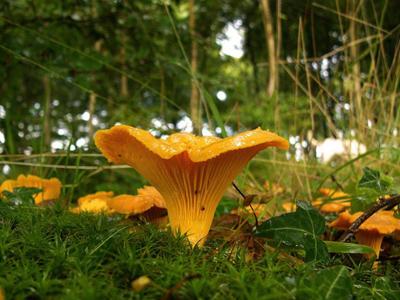Esse fungo produz um aroma frutado e um sabor levemente apimentado, considerado um excelente cogumelo comestível. Mede de 8 a 10cm de altura, é branco quando é jovem, mudando para o amarelo depois. É de consistência carnuda e tenra.