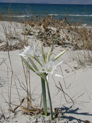Sea Daffodils Mastichari