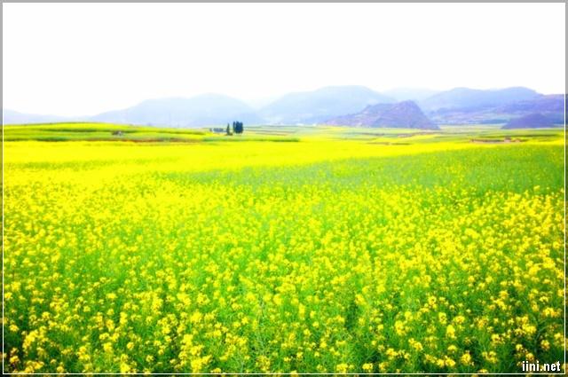 vườn hoa cải nở vàng đẹp