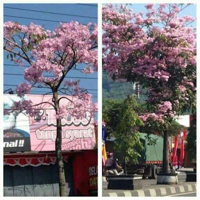 Tukang Taman Surabaya Jual Pohon Tabebuya Ungu pink