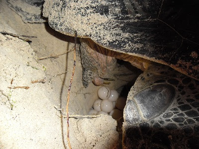 green turtle laying eggs