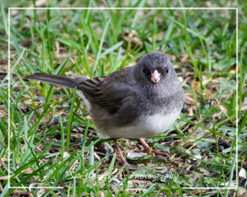 Dark-eyed Junco. Copyright © Shelley Banks, all rights reserved.