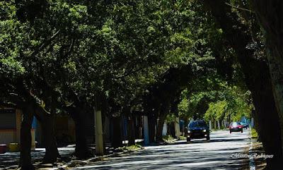 Arvores da Avenida Rio Grande em Praia do Cassino