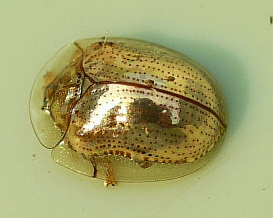 The beautiful and partially transparent Golden tortoise beetle