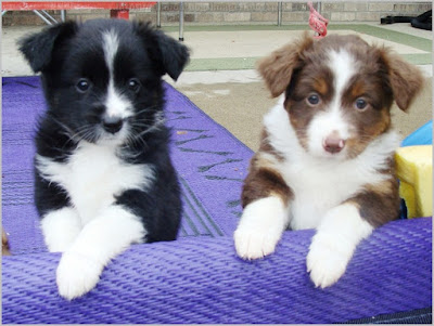 All About Dogs Images Mini Australian Shepherd Mn