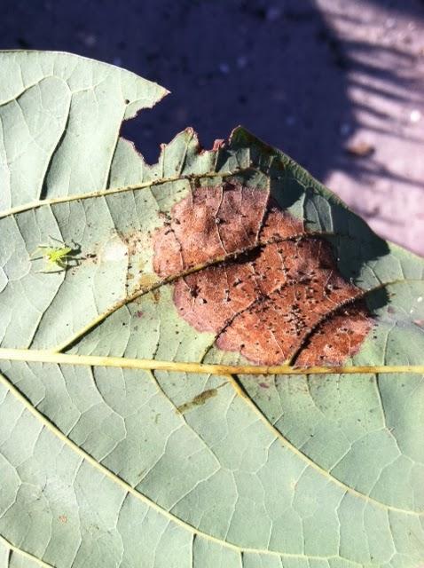 Florida Survival Gardening From The Inbox Ants Avocado