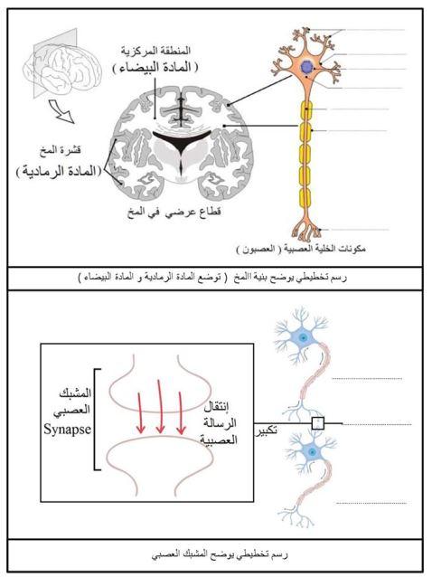 رسم تخطيطي يوضح بنية المشبك و المخ