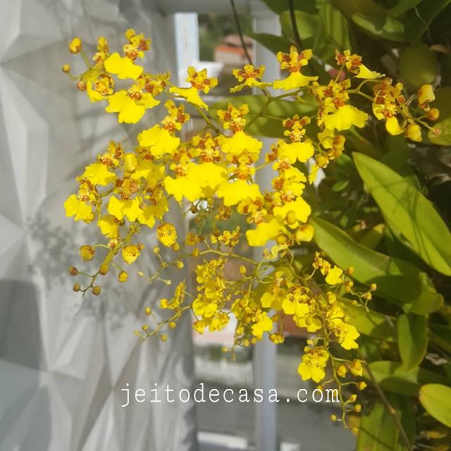orquidea-amarela-chuva-de-ouro