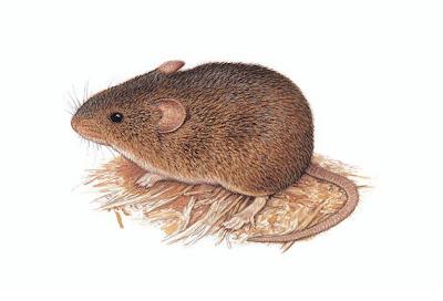 Ratón cavador tropical Necromys temchuki