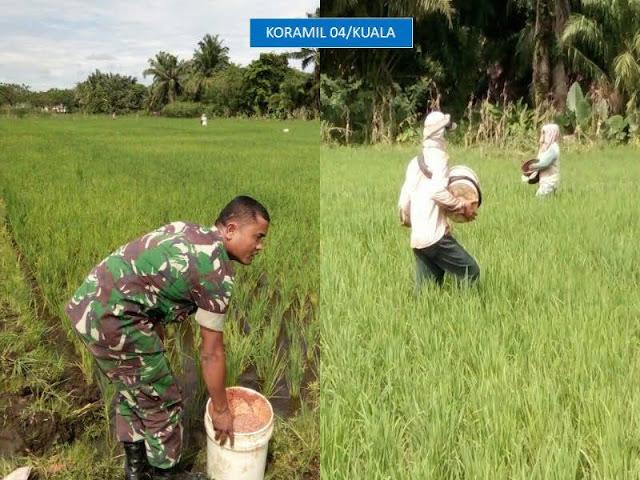 Anggota Koramil 04 Kuala Dampingi Petani Lakukan Perawatan dan Pemupukan Tanaman Padi