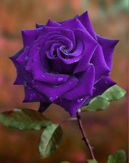 gambar bunga mawar indah 23