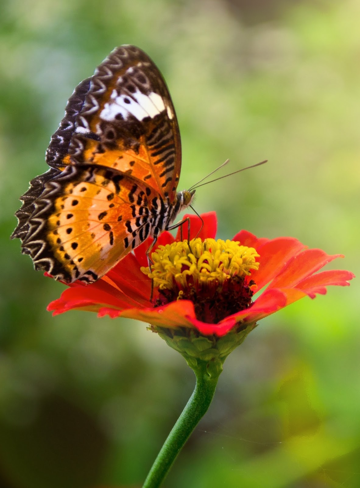 A beautiful tiger butterfly sucking nectar on a red yellow flower.