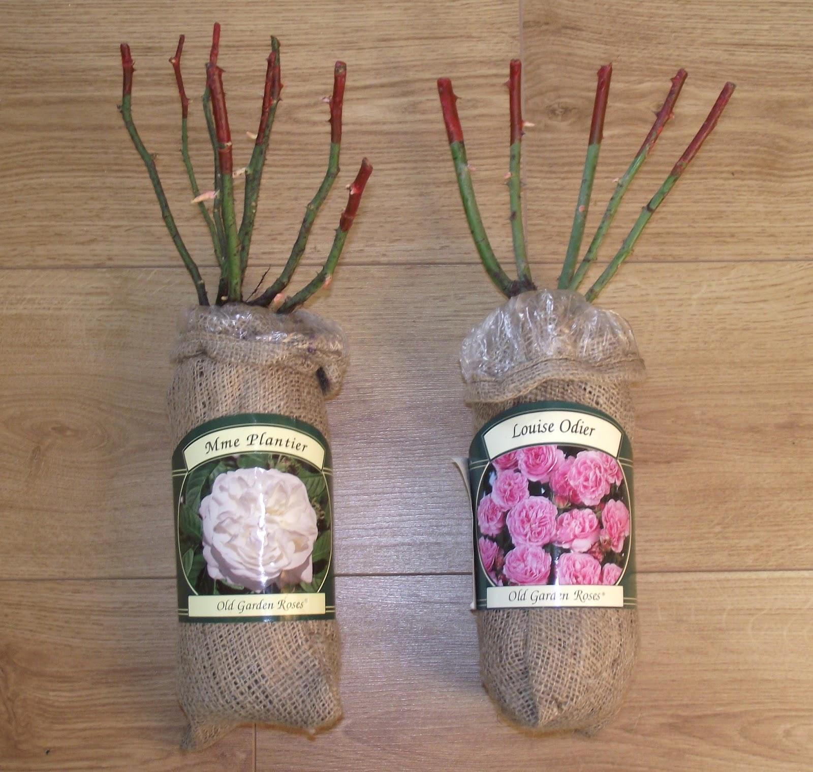 promesse de roses 2 nouveaux rosiers anciens dans mon panier. Black Bedroom Furniture Sets. Home Design Ideas