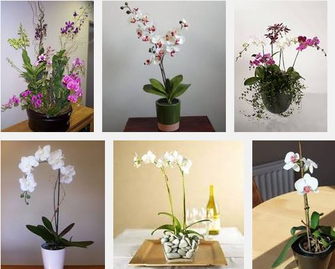 Indoor orchid plants