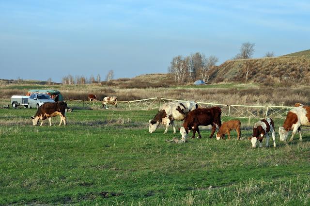 Коровы на Аркаиме