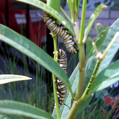 Two Monarch Butterfly Caterpillars on Tropical Milkweed June 8, 2018