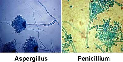Gambar Aspergillus dan Penicillium