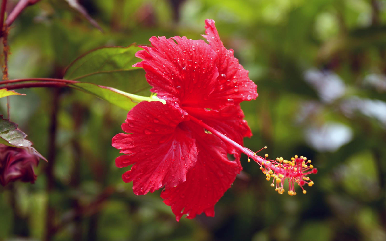 Wallpapers hibiscus flowers wallpapers for Arbustos para jardin con flores
