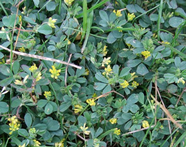 Lesser Trefoil Identify Lawn Weeds
