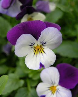 As flores têm sido usadas para fazer corantes amarelo, verde e azul-esverdeado, enquanto as folhas são usadas para fazer um indicador químico. São muito belas. Têm várias cores, como: amarelo, branco e azul.