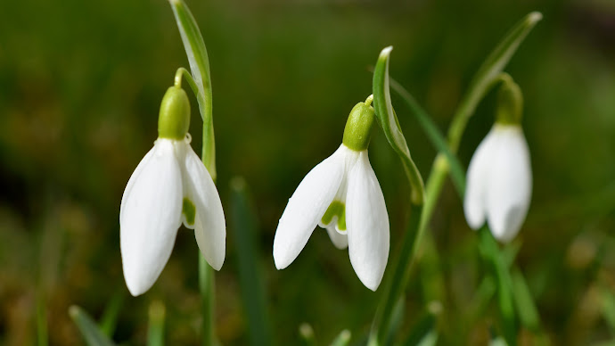 Wallpaper: Spring Flowers Snowdrops