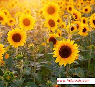 Sun Flower सन फ्लावर