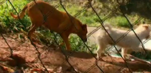 Câu chuyện chú chó đi 6km mỗi đêm để mang thức ăn về cho gia đình