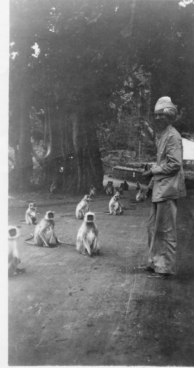 Sacred Monkeys in the mountains outside of Bombay (Mumbai) - India 1939