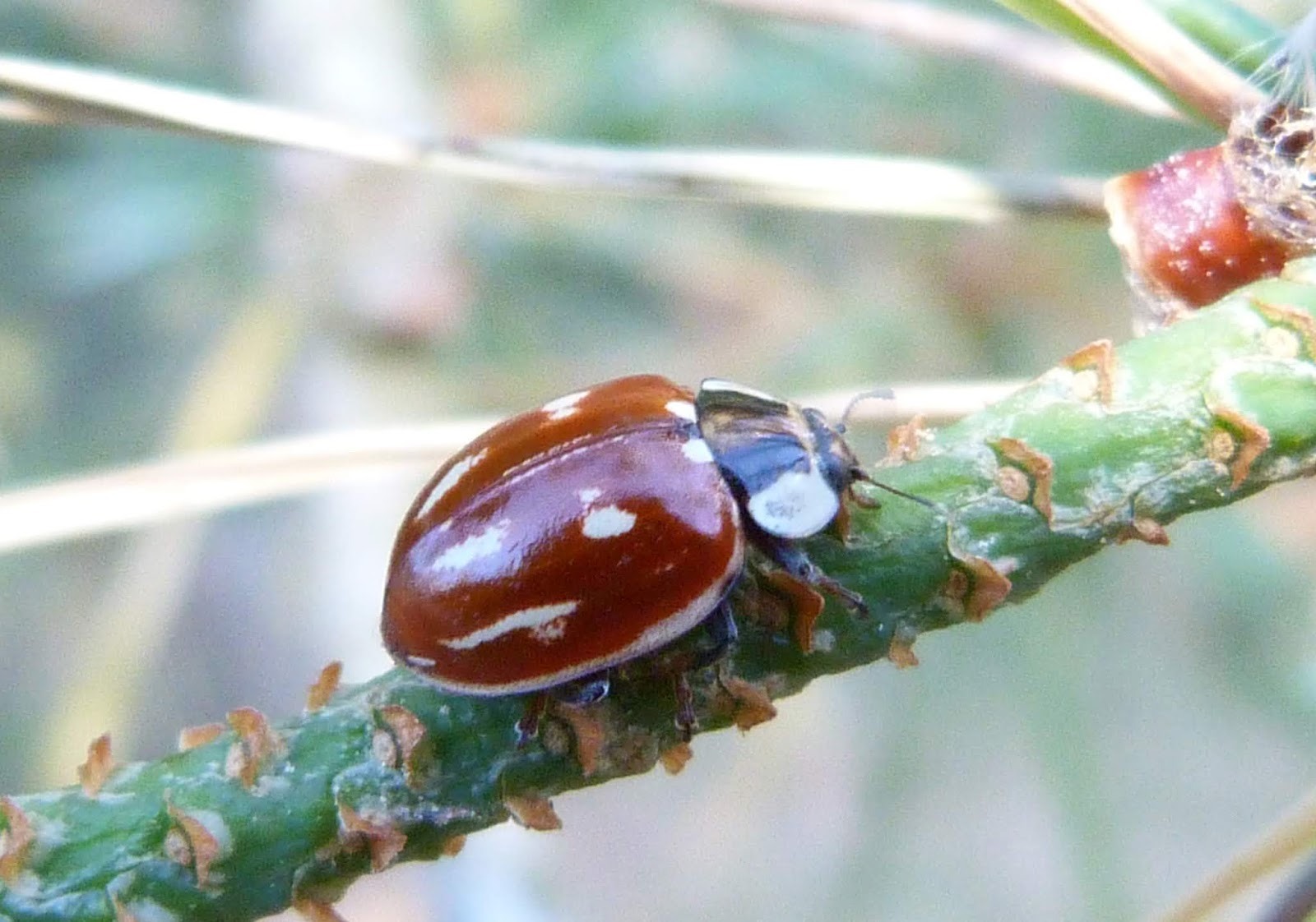 Insects of Scotland: Ladybirds
