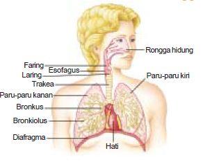 Pengertian dan Fungsi Alat Pernapasan Rongga Hidung, Trakea, Bronkus dan Paru-Paru Dalam Sistem Pernapasan atau Respirasi Pada Manusia